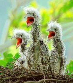 Three baby herons greeted their mother eagerly, for they knew she brought food home. Their concentration could not have been higher than that of those singing at the Choir.: Animals, Nature, Creatures, Baby Animal, Beautiful Birds, Photo, Baby Birds, Nigh