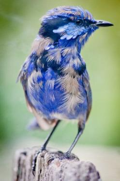 ~~Through My Window ~ scruffy, young, male Blue Wren in his first molt by ~no-soap-was-harmed~~
