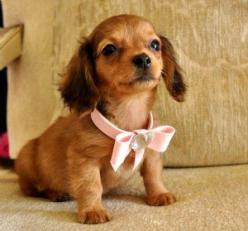 Tiny Mini Dachshund Puppy...so cute