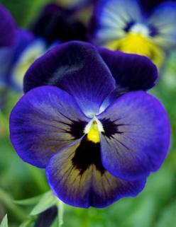White and Blue Pansies: Flowers Pansies, Perfect Love, Pansies Violas, Pansy, Beautiful Flowers, Pretty Pansies, Flowers, Garden