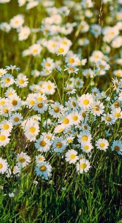 Wild Daisies...after pansies and violas (johnny jump ups) daisies are very high up in the ranks for my favorite flower