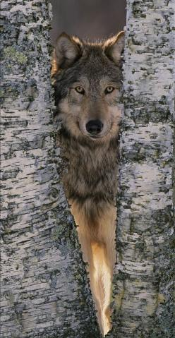 ***wolf   ...........click here to find out more     http://googydog.com