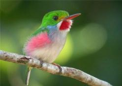 """1605 repins!  Wow!  What a little beauty.  The CUBAN TODY, smallest bird in the WORLD dwells in Cuba 5-6cm (1/4""""! Body under feathers) - The 'Bee' Hummingbird, some say, but a fellow pinner says this is a CUBAN TODY*."""