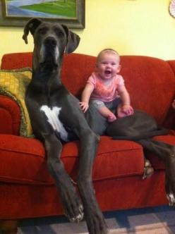 21 Dogs Who Don't Realize How Big They Are. Love the one that reaches on top of the fridge. This is worth glancing through for a good laugh.: Great Danes, Animals, Pet, Baby, Friend, Bigdog, Big Dogs