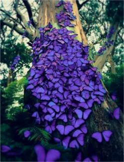 """""""The butterflies are Blue Morphos, which are indigenous to the South American rainforest.  Each year, millions of these beautiful creatures migrate north to the equator to stay warm...""""  Unfortunately the picture itself is apparently faked; the bu"""
