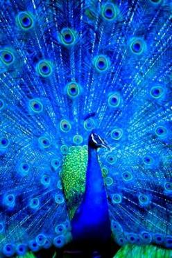 Cerulean Peacock I would love a peacock in my yard so I could listen to his calls. But I wouldn't want him to be lonely, so I guess I need 2 peacocks.: Blue Peacock, Blue Animals, Peacocks, Blue Feathers, Blue Thing, Cerulean Peacock, Blue Birds, Peac
