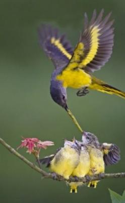 Fairy-wren: Yellow Throated Minivet A mothers work is never done!