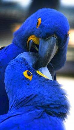 http://haben-sie-das-gewusst.blogspot.com/2012/08/kochen-mit-inspirationen-aus-dem-www.html  Macaws: Animals, Beautiful Blue, Parrots, Color, Beautiful Birds, Blue Macaw
