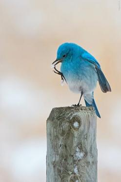 It's finger licking good! by Raymond Lee Photography on Flickr.: Bluebirds, Animals, Beautiful Blue, Birdie, Beautiful Birds, Blue Birds