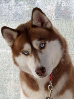 """#joy dare ~grace overheard~ Husband to son """" You can have an inside dog ........"""" #1000 gifts: Red Siberian, Red Husky, Siberian Husky Puppies, Siberian Huskies, Huskies Puppies, Beautiful Red, Animal"""