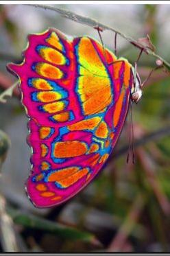 LOOK a tie-dyed Butterfly!  Awesome! From: (Eastwestfalian Fire Clipper Butterfly http://i1.treknature.com): Beautiful Butterflies, Animals, Fire Clipper, Fireclipper, Color, Flutterby, Eastwestfalian Fire