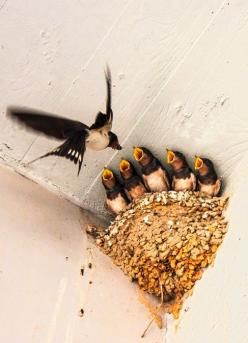 "Mom Swallow: ""Busy Feeding Her Growing Chicks..."": Animals, Feeding Time, Nature, Bird Nests, Beautiful Birds, Baby Birds"