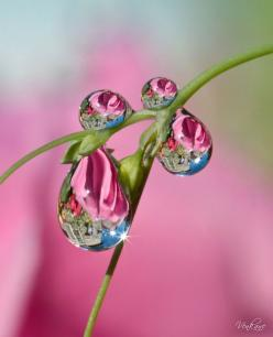 Reflections in water droplets make for such an artistic photo!: Water Drops, Waterdrop, Drops, Pink, Raindrop, Dewdrops, Dew Drops, Photo, Water Droplets