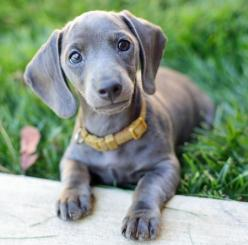 Slinky is the newest member of our family. He has two Dachshund brothers to play, nap and bark with! He also has two kitties to play with! Slinky likes to bite and chase his brothers then nap for an hour.: Gray Dachshund, Animals, Dogs, Dachshund Puppies,
