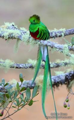 Species: Resplendent Quetzal (Pharomachrus mocinno) Location: Los Lagos Lodge, Cartago, Costa Rica: Animals, Nature, Birdie, Beautiful Birds, Beautifulbirds, Resplendent Quetzal