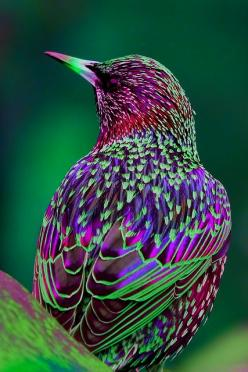 Spreeuw / Starling (Sturnus vulgaris) by Serge (by Serge Sanramat): Animals, God, Nature, Colors, Beautiful Birds