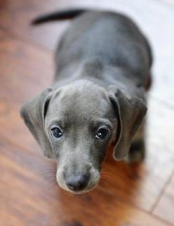 this is the first time that I saw a blue dachshund..... I think I might want one in the future: Daschund, Animals, Dogs, Dachshund Puppies, Puppy, Blue Doxie, Blue Dachshund