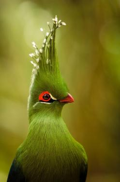 turaco [previously pinned to my more generic bird board by Barbara Hughes; thanks, Barbara!] | 28 Dazzling Exotic Birds You Probably Never Heard Of: Animals, Nature, Green, Livingstone S Turaco, Beautiful Birds, Photo