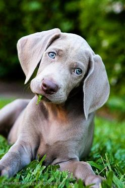 Weimaraner - we hope to get one of these puppies as soon as we get a house :): Types Of Dog, Animals, Pet, Blue Eye, Weimaraner S, Weimaraner Puppies, Baby, Beautiful Dogs, Weimaraner Puppy