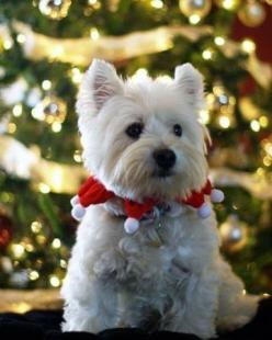 what a cutie <3 West Highland White Terrier Merry Christmas Card Puppy Holiday Dogs Santa Claus Dog Puppies Xmas Westie
