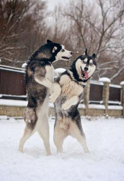 10 interesting facts about Siberian Huskies. Click the picture to read: Huskies Playing, Animals, Dogs, Siberian Husky, Pets, Siberian Huskies, Interesting Facts, Friend