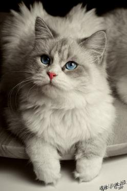 """A cat is better than you are, more honest, more graceful, smarter for her size, better coordinated, and infinitely more beautiful."" --Lenore Fleisher: Ragdoll Cat, Kitty Cats, Kitten, Beautiful Cats, Pet, Blue Eyes, Kitty Kitty, Animal"