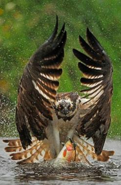 """""""Out You Come"""".. Osprey (Pandion haliaetus)   by Bill Doherty on 500px: Photos, Animals, Nature, Owl, Eagles, Birds"""