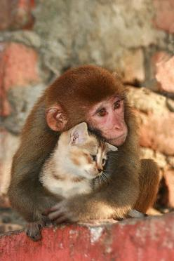 """Wild"" - A monkey shares a hug with a kitten in Nagaon, Assam, India - photo by Diganta Talukdar via www.flickr.com"