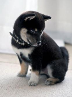 A black, tan and white Shiba Inu puppy. Gimme gimme!!!   ...........click here to find out more     http://googydog.com: Animals, Dogs, Tan Shiba, Pet, Puppys, Shiba Inus, Baby, Shibainu