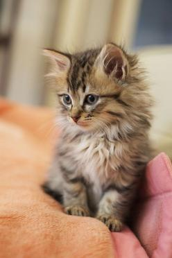 Awwwww...not a kitty person but this could change my mind Maine Coon kitten: Cats, Kitty Cat, Animals, Kittens, Baby, Coon Cat