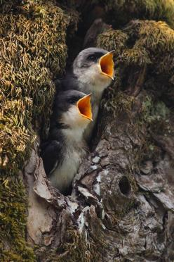 Baby Tree Swallows Screaming for Their Supper by Jonkman Photography: Tree Swallows, Babies, Animals, Hungry Babies, Nature, We Re Hungry, Beautiful Birds, Baby Birds