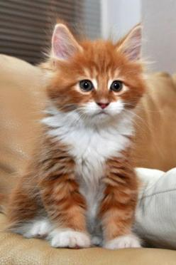 Brown and white beautiful cat. Click the pic for more: Cats, Orange Cat, Animals, Fluffy Kitten, Kittens, Kitty
