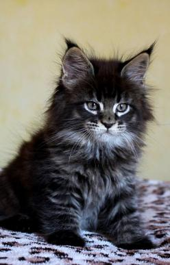 brown maine coon kitten I bought one of these for my mum, he was the most affectionate, beautiful cat - Spoil your kitty at www.coolcattreehouse.com: Cats, Beautiful Cat, Kitty Cat, Main Coon Kitten, Maine Coon Cat, Fluffy Cat