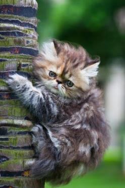 CAT SNIP: Sometimes cats climb a tree and can't get down. Why? Their claws curve inward, allowing them to grip surfaces while going up head first, but that doesn't help them get down. Eventually, most felines will either jump or realize they can s