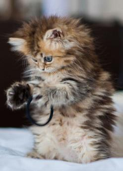 Could this kitten be any fluffier . . . hey wait,that's not a milk container ring !! Can someone get this kitten a milk container ring please !!: Kitty Cats, Animals, Fluffy Kitten, Hair Ties, Kitty Kitty, Kittens, Kitties