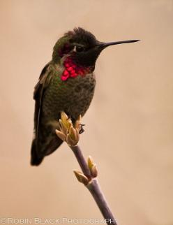 Flying lavender blue Hummingbird  Gorgeous! Don't you just love Hummingbirds?: Hummingbird Tattoo, Humming Birds, Purple, Humming-Bird, Beautiful Color, Beautiful Birds, Hummingbirds, Animal