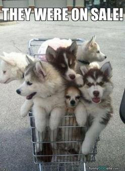 "From our April 3 ""caption this"" photo. Caption by Carolyn.: Animals, Dogs, Pet, Puppys, Shopping Carts, Husky, Puppy, Chihuahua"