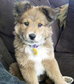 Golden Retriever Husky Mix - This. Is. My. Dream. Dog. I had no idea my two favorite dogs could exist in one!: Animals, Dogs, Golden Retrievers, Future Pet, Husky Mix, Puppy, German Shepherd, German Shepard, Retriever Husky