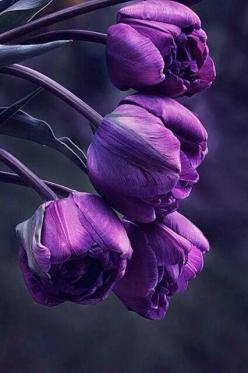 Purple ༻♡༻ ღ☀☀ღ‿ ❀♥♥ 。\|/ 。☆ ♥♥ »✿❤❤✿« ☆ ☆ ◦ ● ◦ ჱ ܓ ჱ ᴀ ρᴇᴀcᴇғυʟ ρᴀʀᴀᴅısᴇ ჱ ܓ ჱ ✿⊱╮ ♡ ❊ ** Buona giornata ** ❊ ~ ❤✿❤ ♫ ♥ X ღɱɧღ ❤ ~ Tues 14th April 2015: Rose, Purple Tulips, Purple Flowers, Tulip, Beautiful Flowers, Things Purple, Flowers, Flowers Purpl