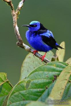 "Red-legged Honeycreeper ...  ""For every creature of the forest is mine, ... and each one of the birds of the mountains, I know.""  Psalm 50"