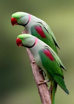 Ringneck Parrots: I used to  have some of these wonderful little parrots!: Twin, Animals, Beautiful Birds, Alexandrine Parrot, Ringneck Parrots, Indian Ringneck