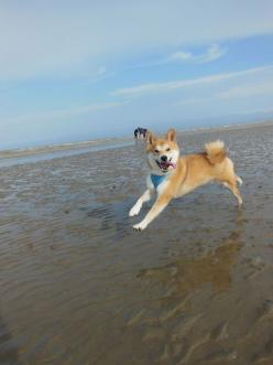 shibashibashibashibashiba:  Ando beach day                            He is having a wonderful time jumping in the rocky ocean waters. What a beautiful animal. !: Beaches, Beach Day, Shiba Inu, Happy Dogs, The Beach, Ando Beach, Shibainu, Animal