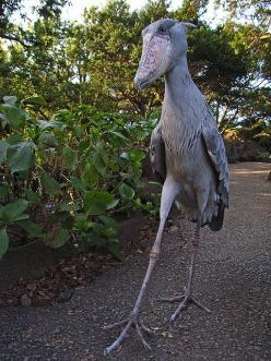 The 5 foot tall shoebill. Imagine seeing this thing walk towards you outside at night: Nature, Dinosaur, African Birds, Creatures, Animals Birds, Beautiful Birds, Shoebill Stork