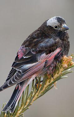 The Black Rosy Finch, or Black Rosy-Finch ~ is a species of passerine bird in the family Fringillidae native to alpine areas above treeline, of the western United States