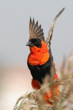 The Northern Red Bishop is a stocky 13–15 cm. bird. The breeding male is scarlet apart from his black head and waistcoat, and brown wings and tail. The conical bill is thick and black.  The non-breeding male is pale yellow streaked above and shading to wh