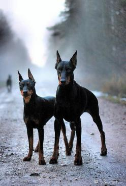 What a beautiful Doberman!: Dobermann Pinschers, Doberman Photos, Doberman Pinscher, Doberman Pinchers, Doberman S, Beautiful Doberman, Dobermans ️, Dobermans Steal
