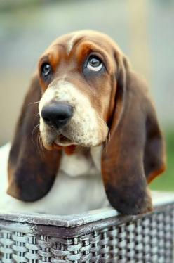 5 Things You Need to Know About Owning a Basset Hound: Animals, Dogs, Sweet, Pet, Bassett Hound, Puppy, Bassethound, Friend