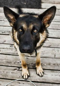 A German shepherd seeing-eye dog named Orient led his human, Bill Irwin, over the 2,100-mile hike through the Appalachian Trail. Irwin was the first blind man to make the journey.