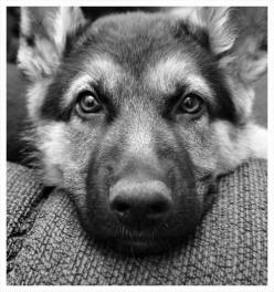 German Shepherd :) ...........click here to find out more http://googydog.com: German Shepards, Dogs, Pet, German Shepherds, Friend, Animal
