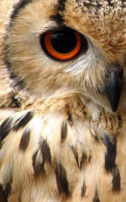 Indian Eagle Owl.: Sweet Animals, Owl Aww, Man Eating Owl, Birds Owls, Nature Birds, Animal Humour, Eagles